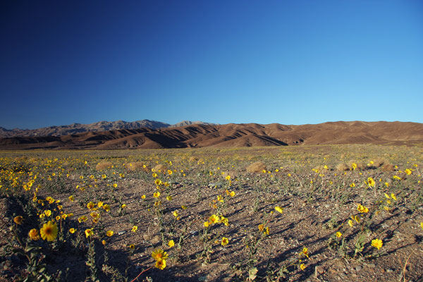 Wildflowers in bloom at Death Valley National Park, California